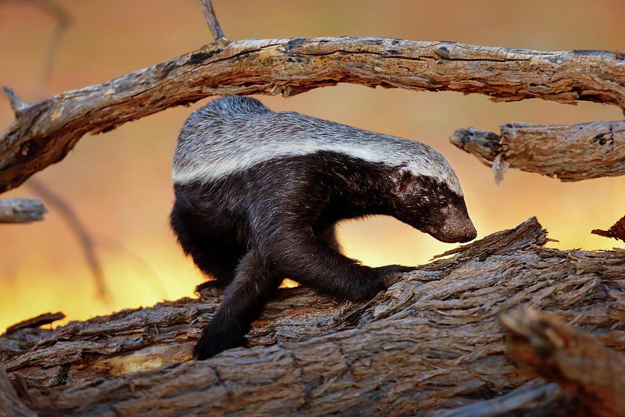 Honey Badger Photograph - Honey Badger  by Johan Swanepoel