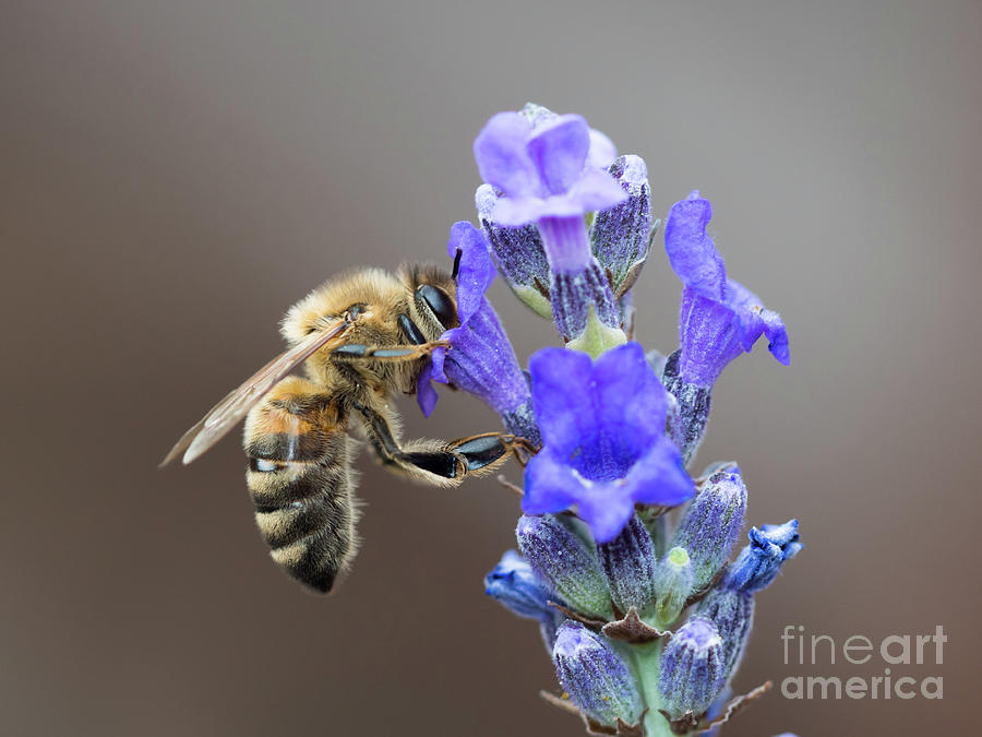 Honey Bee - Apis mellifera - feeding on Lavender by Paul Farnfield