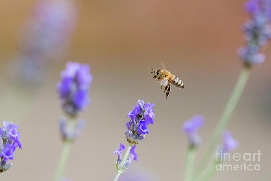 Honey Bee - Apis mellifera - flying through lavender in flower by Paul Farnfield