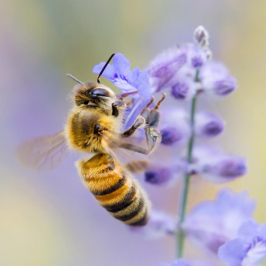 Apidae Photograph - Honey bee by Jim Hughes