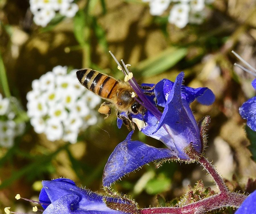 Honey Bee On California Bluebell Wildflower Photograph