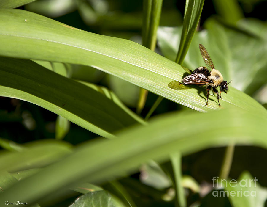 Honey Bee On Lily Leaf Photograph