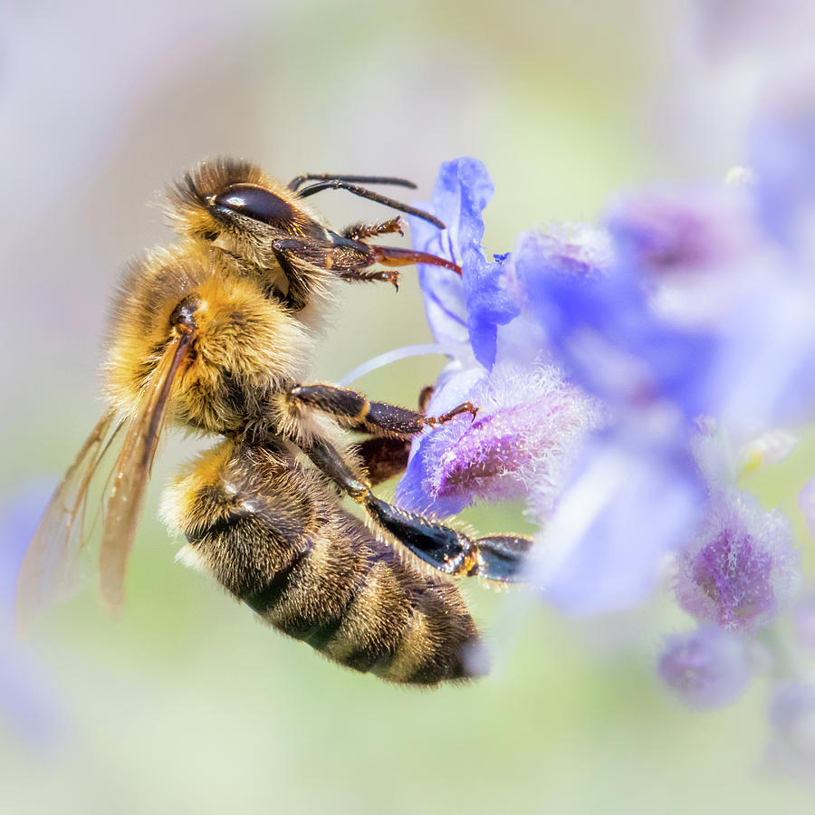 Apidae Photograph - Honey bee on Russian Sage by Jim Hughes