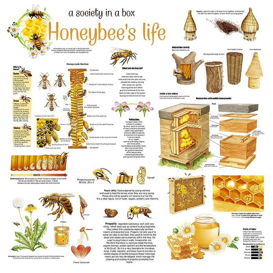 Honey Bees Infographic Drawing By Gina Dsgn