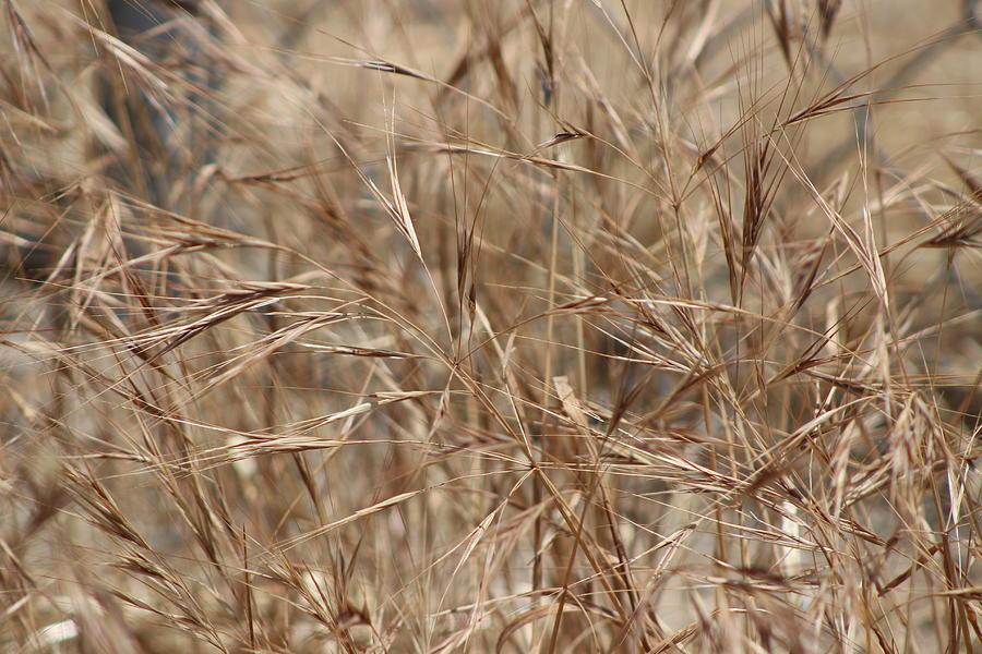 Wild Grass Photograph - Honey Brown Wheat Grass by Colleen Cornelius