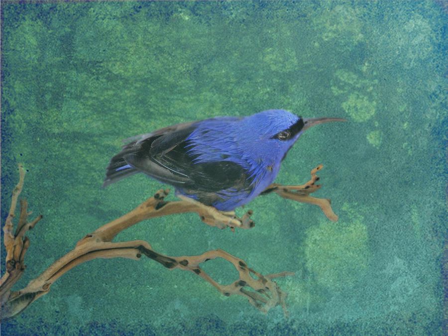 Hummingbird Digital Art - Honey Creeper by Marrissia Ruth