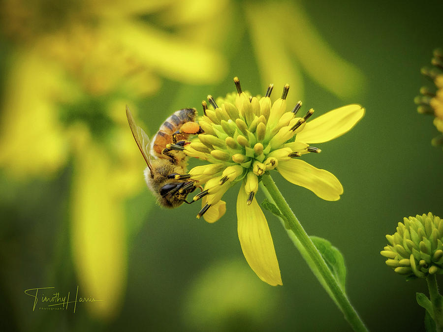 Honeybee 21 by Timothy Harris