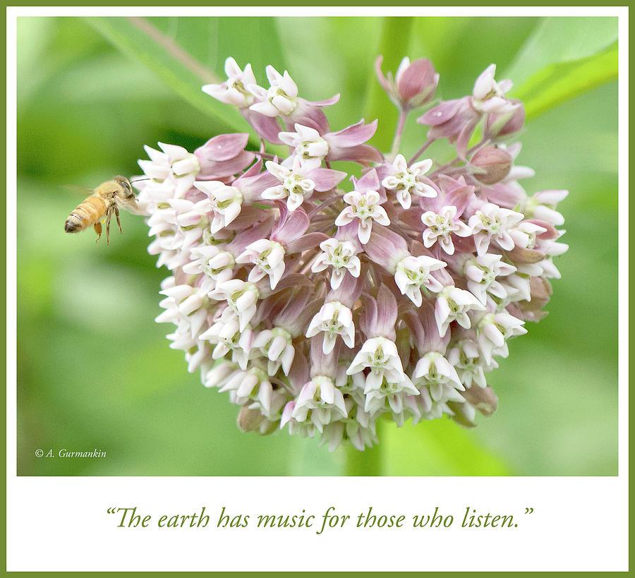 Honeybee Photograph - Honeybee And Milkweed Flowers by A Gurmankin