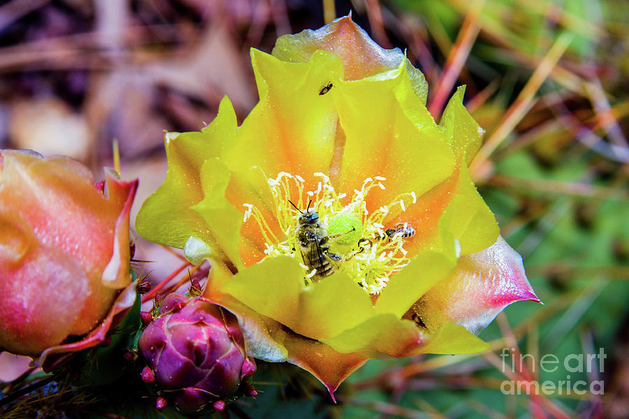 Cactus Photograph - Honeybee At Work by James Jones