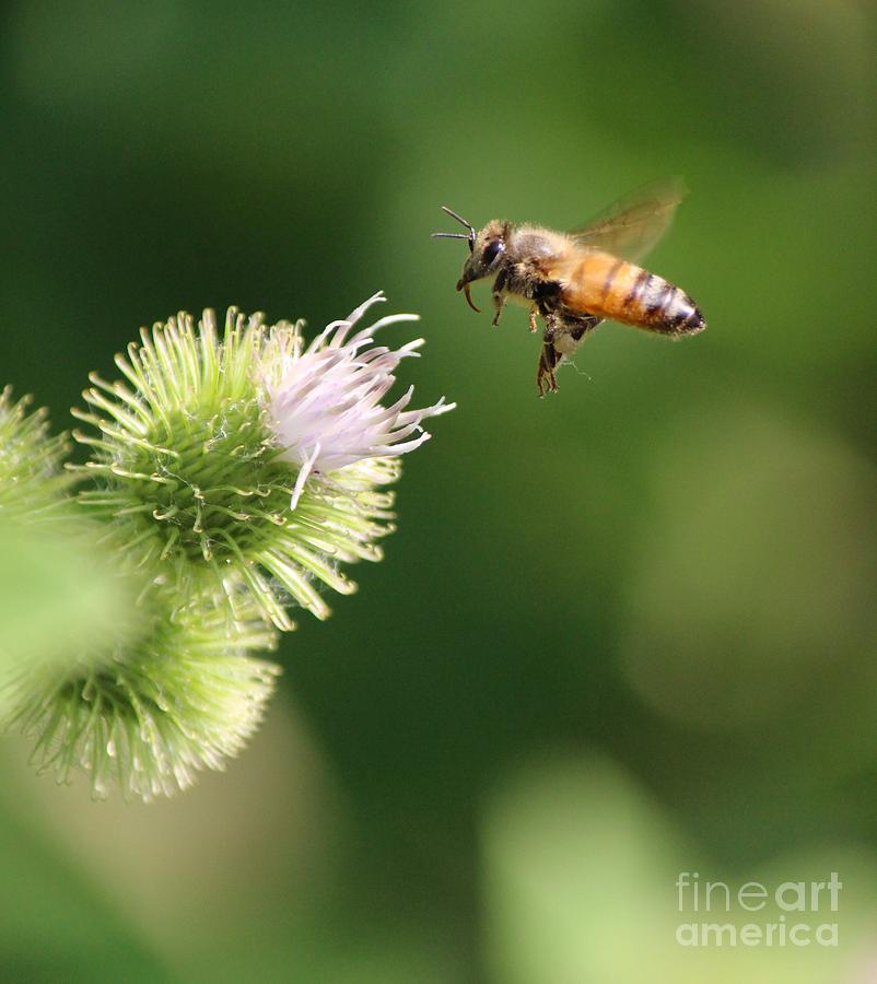 Honeybee Photograph - Honeybee Flying To Thistle  by Colleen Snow