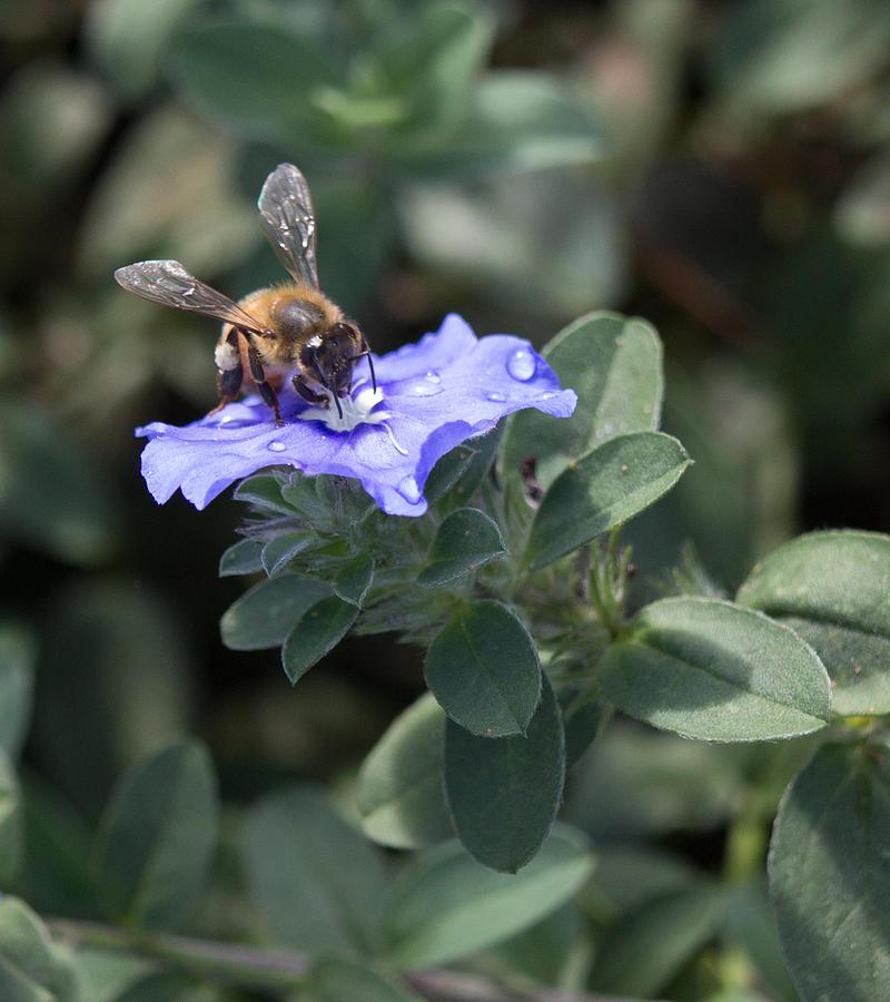 Floral Photograph - Honeybee On Blue Daze by JT Kramer