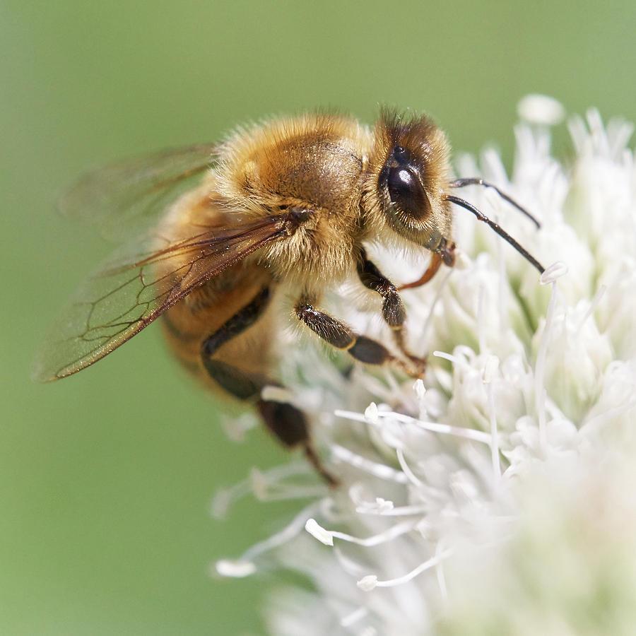 Apidae Photograph - Honeybee on Rattlesnake Master by Jim Hughes