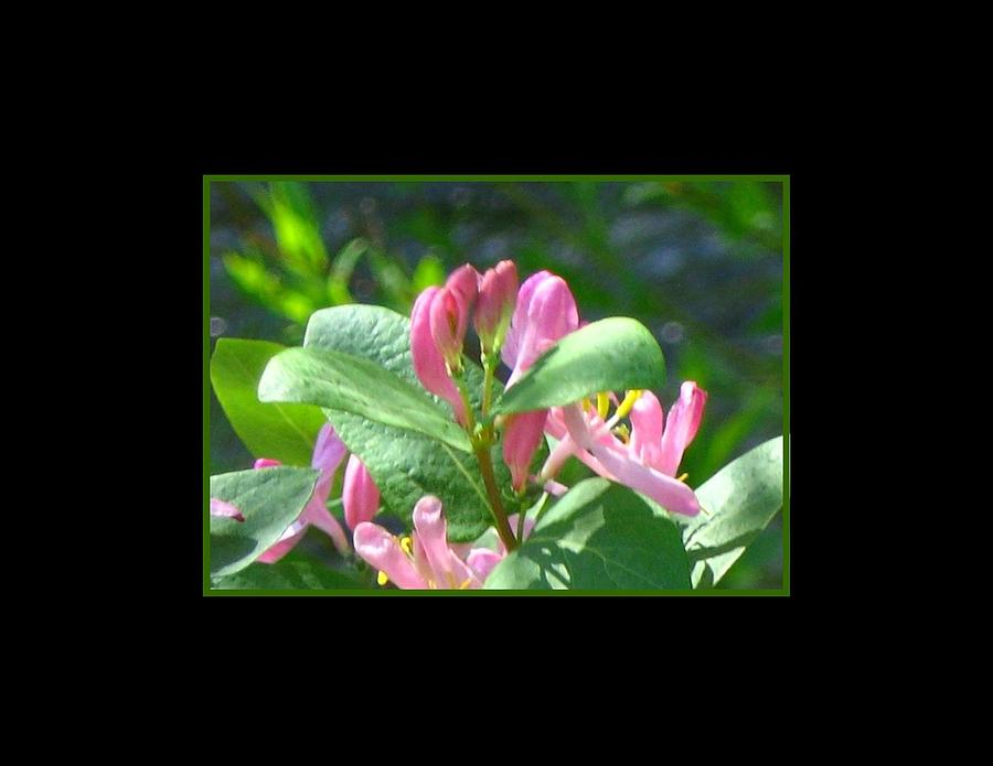 Honeysuckle Photograph - Honeysuckle Pink Photograph by Gretchen Wrede