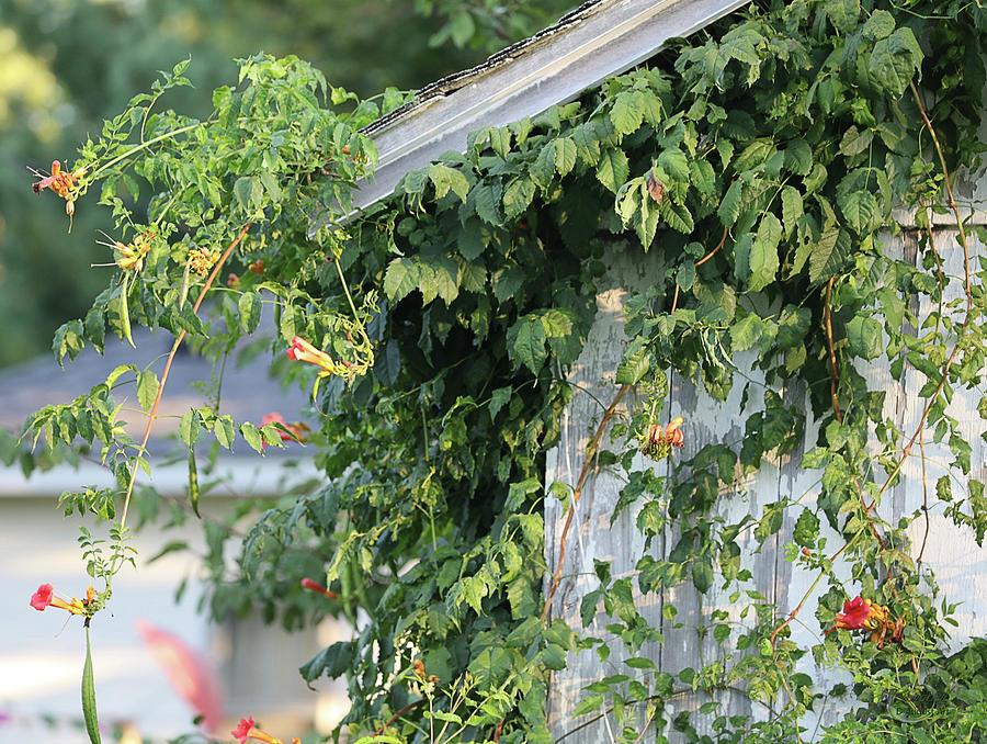 Honeysuckle Vines On Barnside Photograph