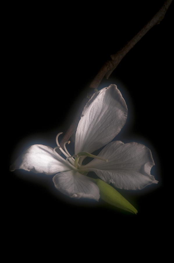 Solitude Photograph - Hong Kong Orchid by Lou  Novick