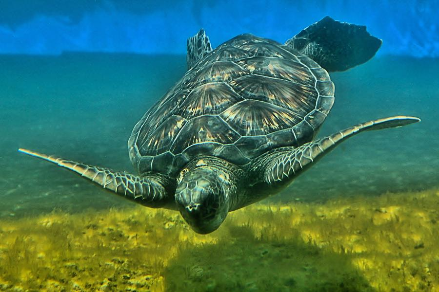 Turtle Photograph - Honu by DJ Florek
