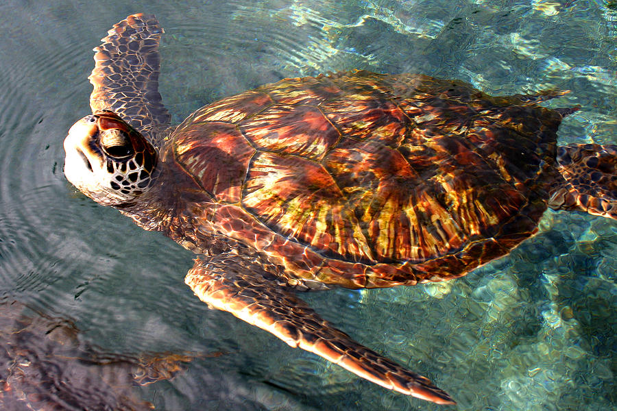 Green Sea Turtle Photograph - Honu Green Sea Turtle Maui Hawaii by Pierre Leclerc Photography