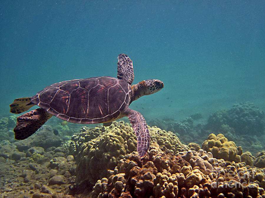 Honu Heaven by Bette Phelan