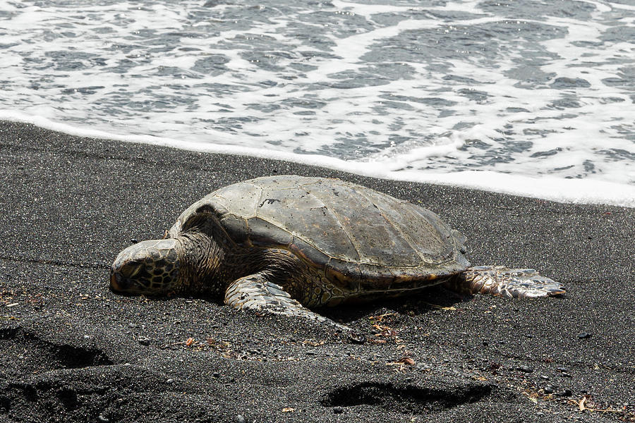 Honu Sleeping on the Shoreline at Punalu'u by John Daly