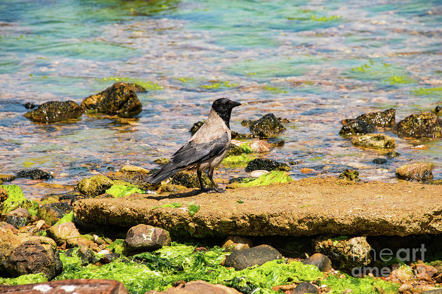 Princes Islands Photograph - Hooded Crow by Bob Phillips