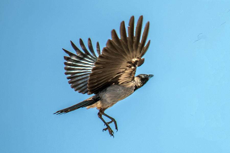 Hooded Crow In Flight by William Bitman