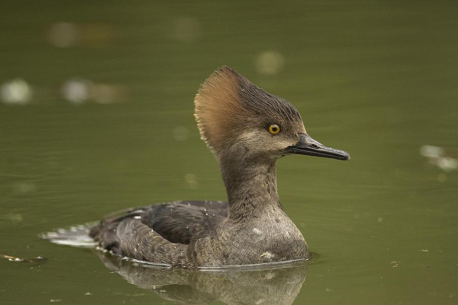 Birds Photograph - Hooded Merganser by Doug Herr
