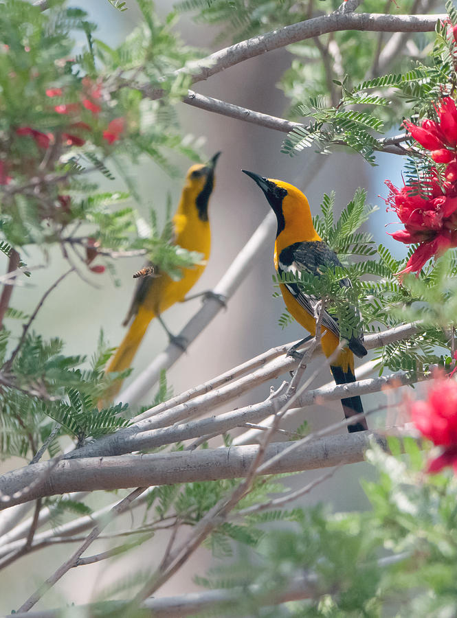 Hooded Oriole Photograph - Hooded Oriole Duo by Tam Ryan