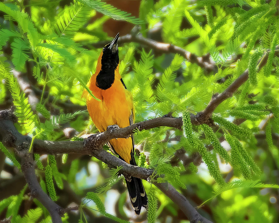 Hooded Oriole H1845 Photograph