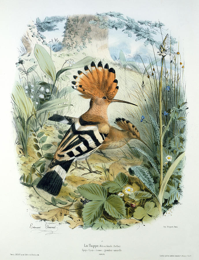 Hoopoe (upupa Epops) (colour Litho) By Edouard Travies (1809-c.1865) Painting - Hoopoe by Edouard Travies