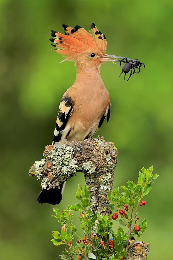 Hoopoe Photograph - Hoopoe With Spider by Andres Miguel Dominguez