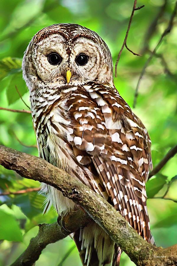 Hoot Owl by Christina Rollo