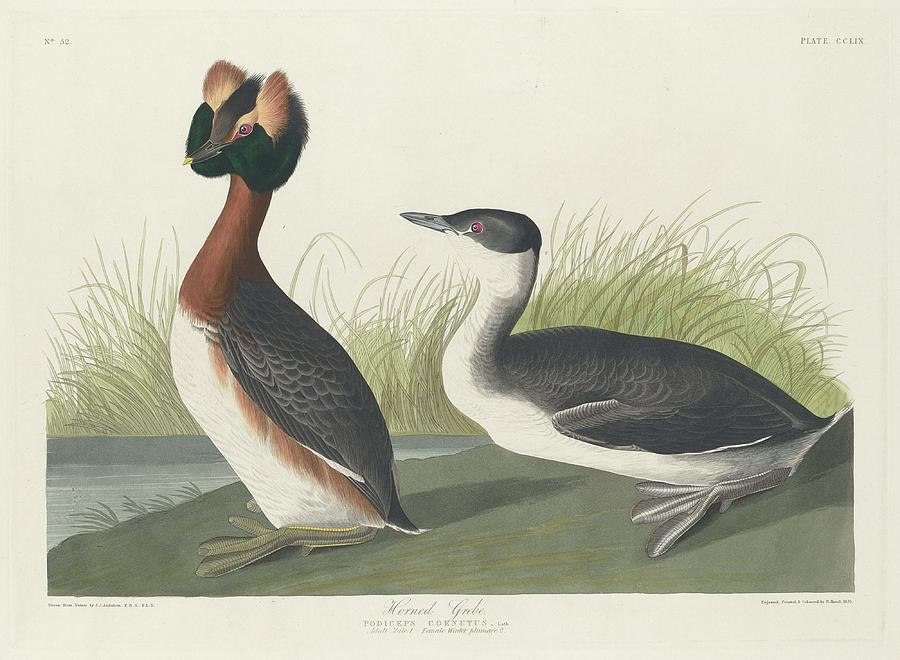 Audubon Drawing - Horned Grebe by Dreyer Wildlife Print Collections