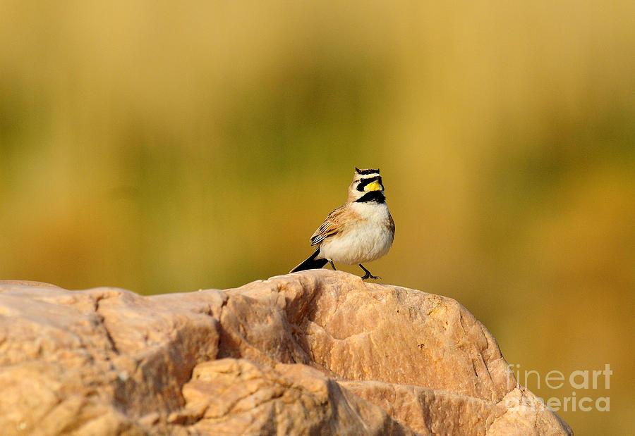 Bird Photograph - Horned Lark by Dennis Hammer