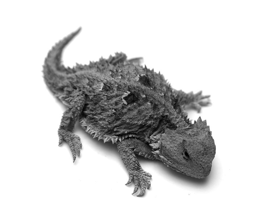Lizard Photograph - Horned Lizard  by Nathan Abbott