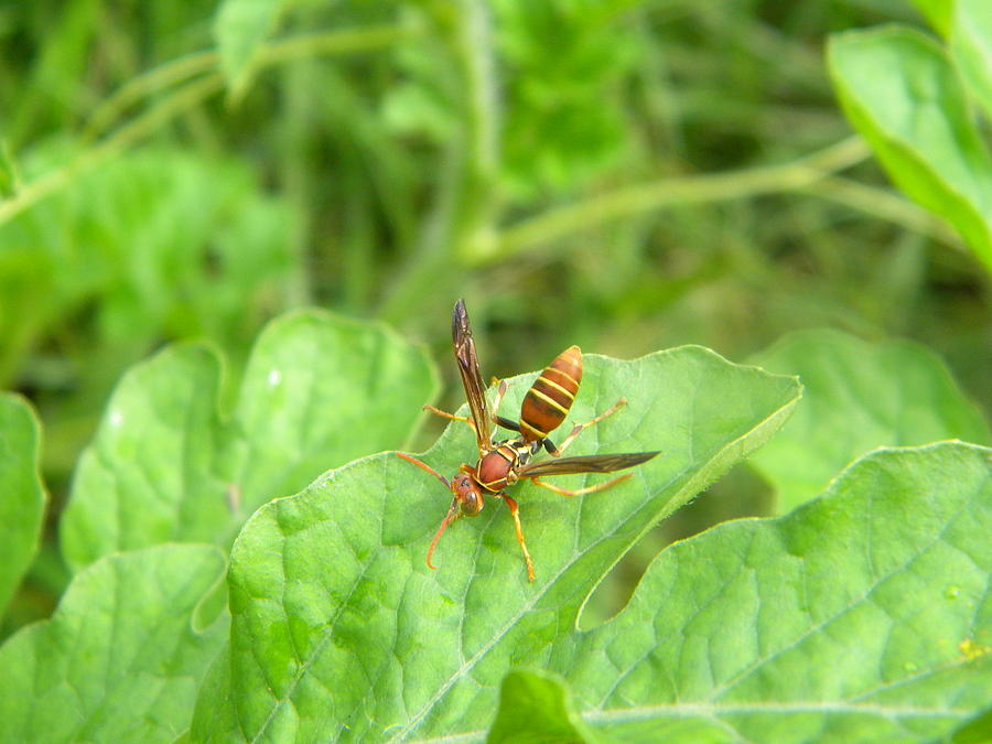 Hornet Photograph - Hornet On Watermelon by Angi Nagel