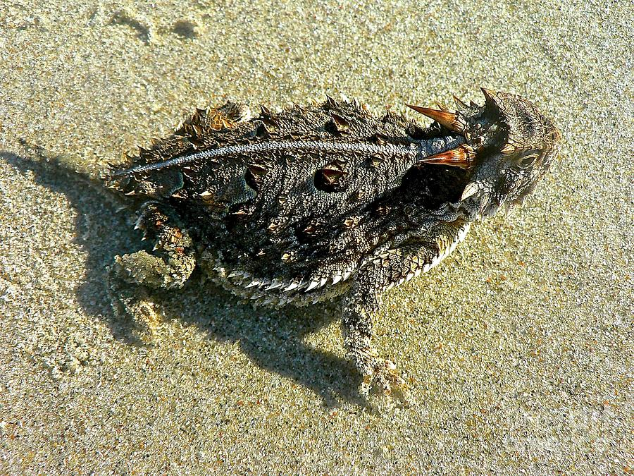 Horny Toad Lizard by Jean Wright
