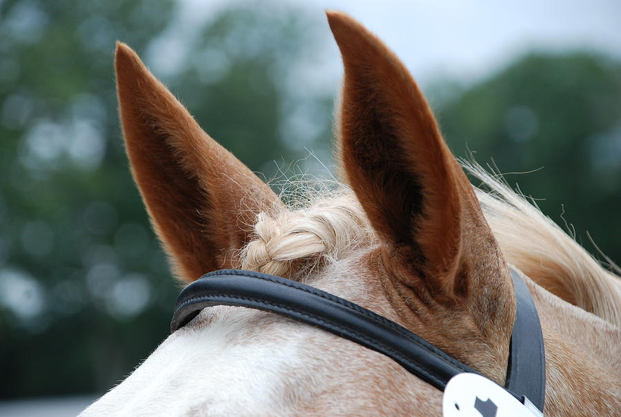 Horse Photograph - Horse At Attention by Jennifer Ancker