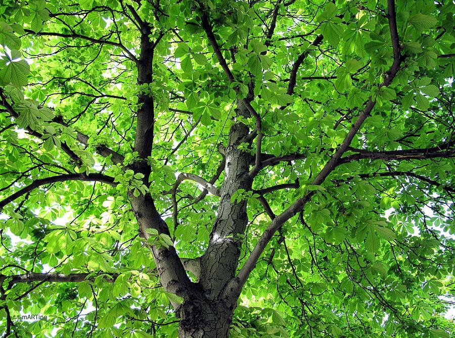 Horse Chestnut Tree Photograph