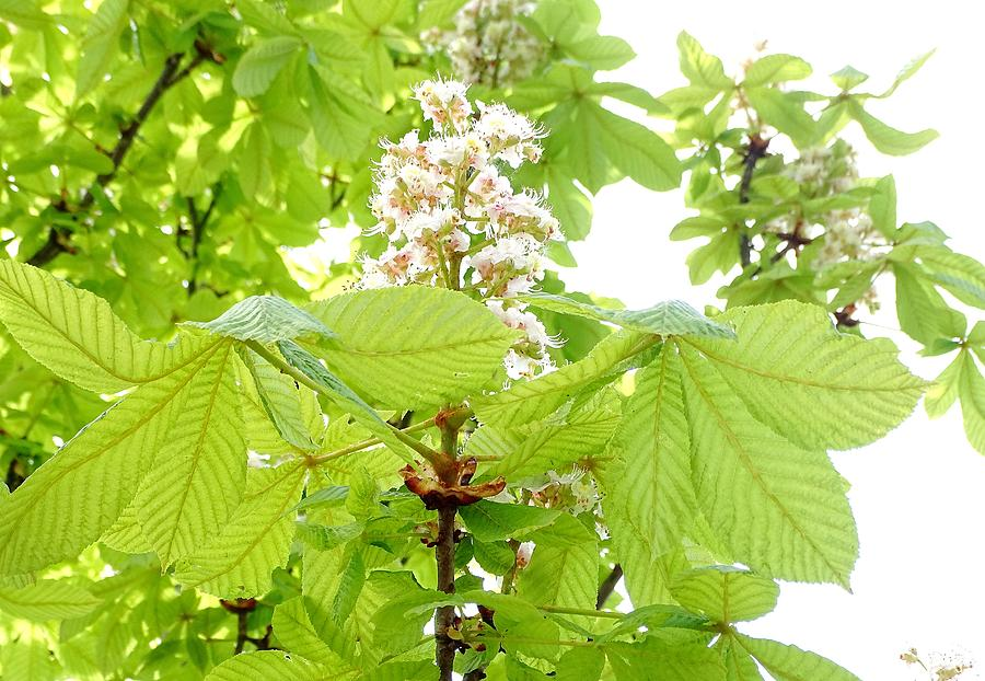 Horse Chestnuts Photograph - Horse Chestnuts by Mhiss Little