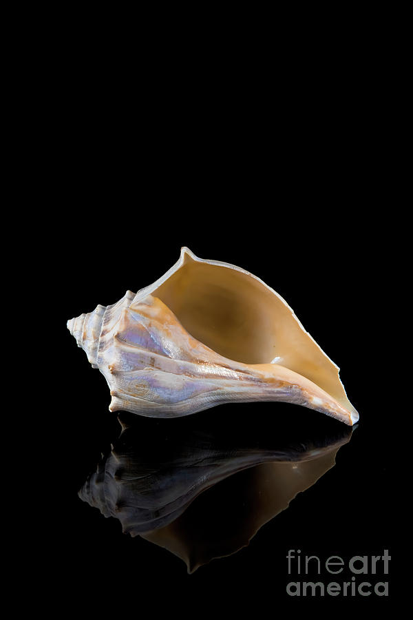 Horse Conch by Anthony Sacco