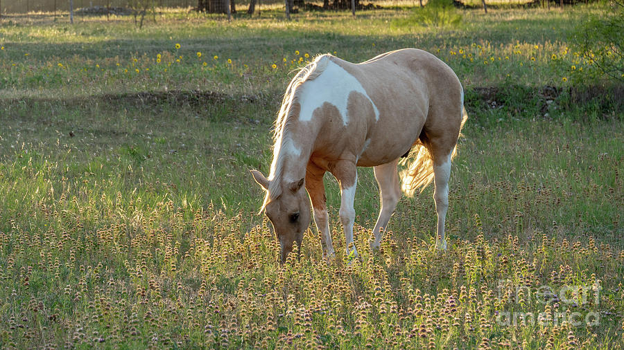 America Photograph - Horse Feeding In Grass Farm With Sunset Light From The Left by PorqueNo Studios