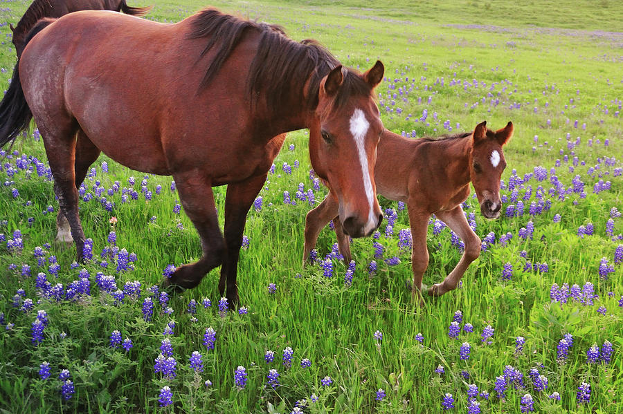 Horizontal Photograph - Horse On Bluebonnet Trail by David Hensley