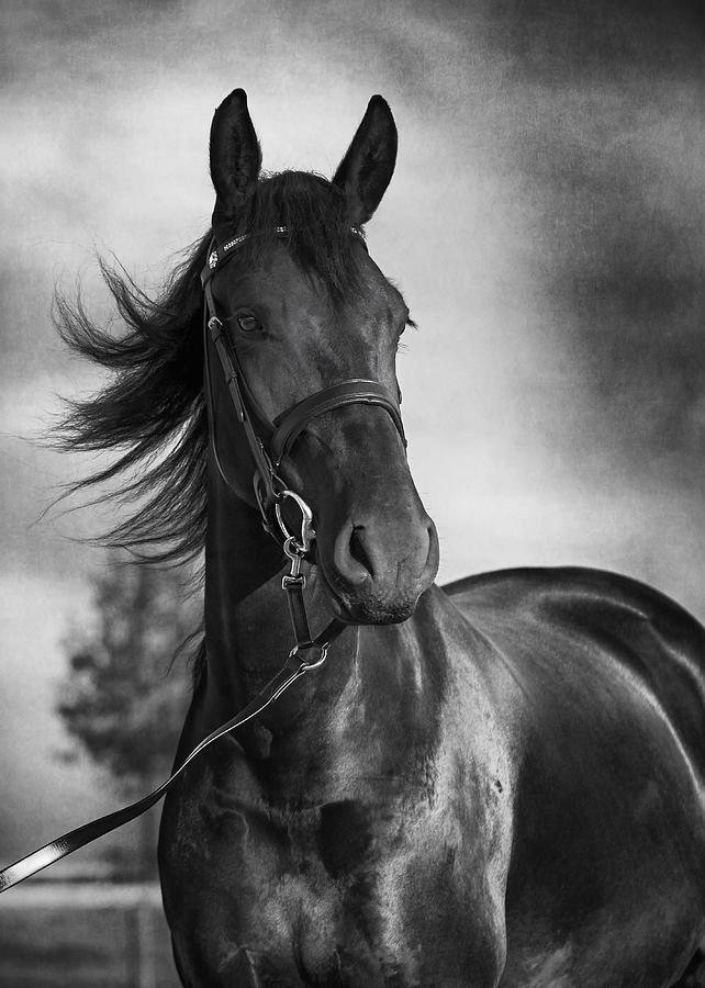 Horse photograph horse portrait in black and white by wolf shadow photography