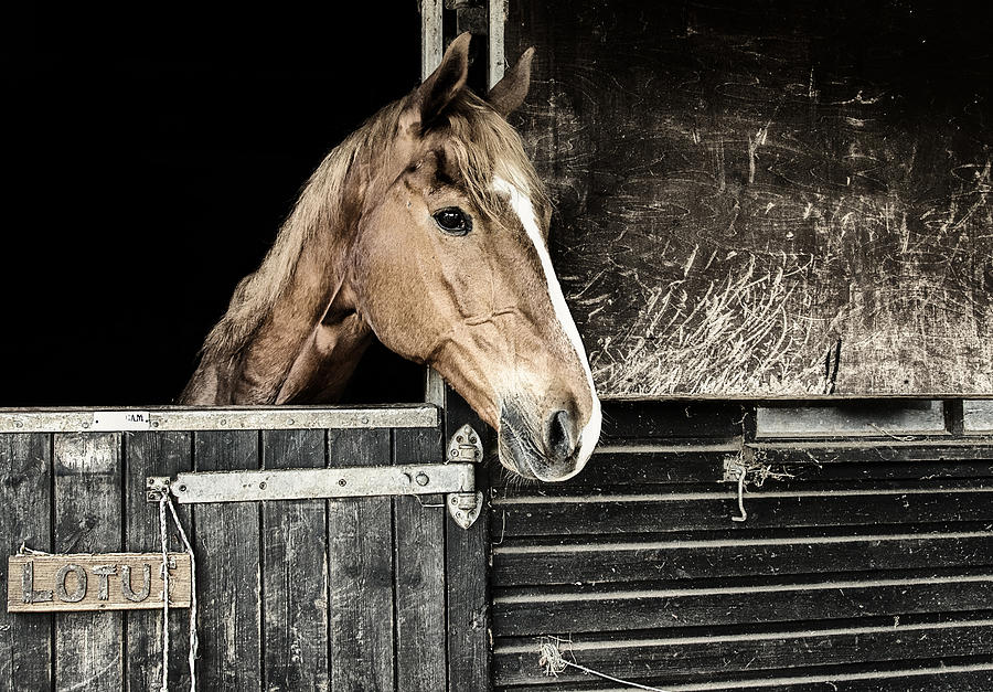 Horse Profile In The Stable Photograph