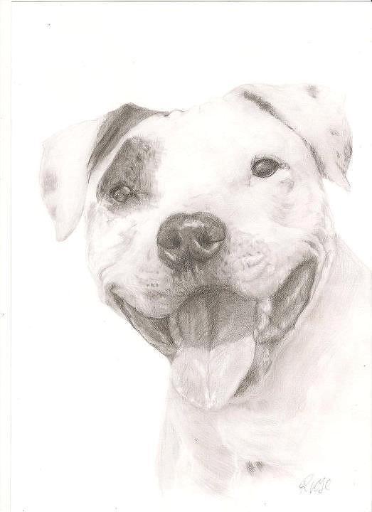 Pitbull Drawing - Pitbull  by Rebecca Vose