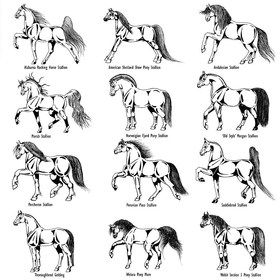 Horse Drawing - Horse Sketch Composite by Christopher McKenzie