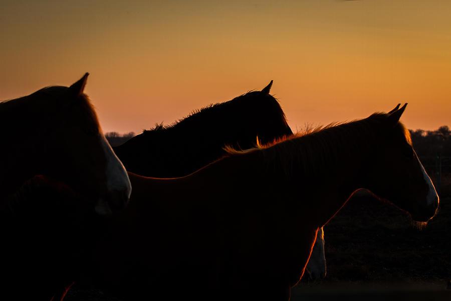 Horses Evening Glow by Toni Thomas