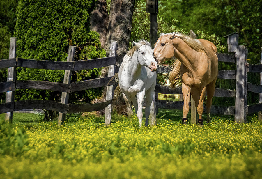 Horses in Yellow Field by Ron Pate