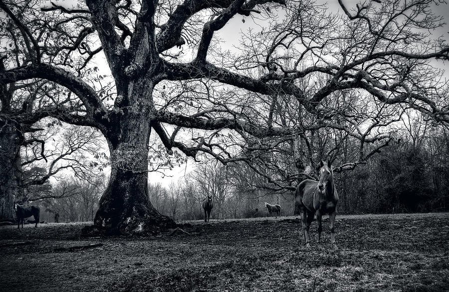 Horses On A Foggy Morning In Black And White Photograph by Greg and Chrystal Mimbs