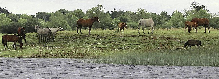 Faa Photograph - Horses On Irelands River Shannon by Walter E Koopmann